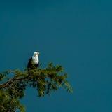 Орел рыб стоковое изображение