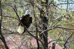 Орел садить на насест в дереве Стоковое фото RF