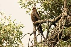 Орел сидя на ветви Стоковое Изображение RF