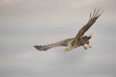 Орел скользя и поворачивая Стоковые Изображения