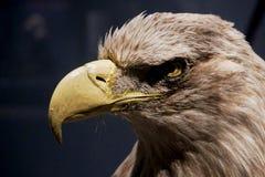 Орел - экспонат Стоковая Фотография RF