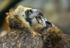 Орел 2 любовников Стоковое фото RF