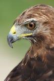 Орел Стоковая Фотография RF