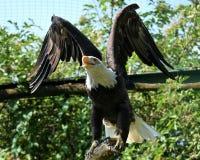 Орел Стоковое фото RF