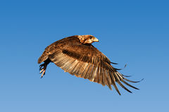 Орел Bateleur в полете Стоковая Фотография