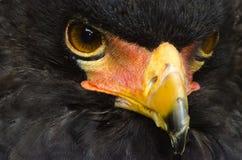 Орел Bateleur Стоковые Фото