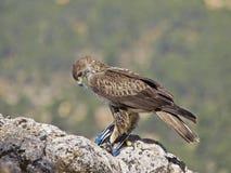 Орел Bonelli Стоковое Изображение RF