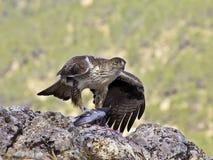 Орел Bonelli Стоковые Фото