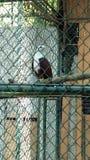 орел philippine стоковая фотография