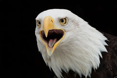 орел screaming Стоковое фото RF