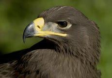 Орел Steepe Стоковые Изображения RF