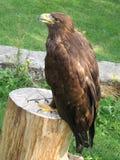 орла королевское польностью золотистое Стоковая Фотография