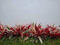 Орнаментальные заводы с красными и белыми листьями на пустой стене, травой азиатского буйвола стоковые изображения rf