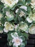 Орнаментальный крупный план зеленой и белой капусты Стоковые Изображения RF