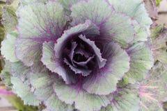 Орнаментальная капуста Стоковое Фото