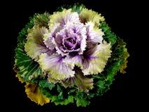 Орнаментальная капуста Стоковая Фотография RF
