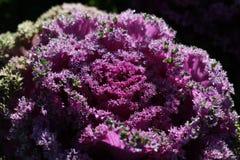 Орнаментальная капуста Стоковая Фотография