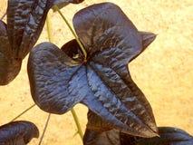 Орнаментальная лоза сладкого картофеля Стоковые Фото