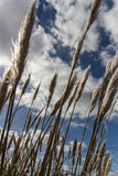 Орнаментальная трава, Ирландия, 2015 Стоковое фото RF