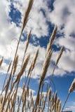 Орнаментальная трава, Ирландия, 2015 Стоковое Изображение RF
