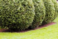 Орнаментальные вечнозеленые изгороди Стоковая Фотография