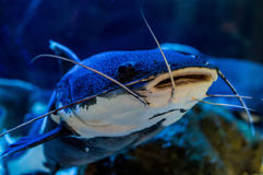 Орнаментальные рыбы аквариума Стоковое Изображение