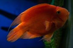 Орнаментальные рыбы аквариума Стоковая Фотография