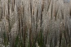 Орнаментальные шлейфы травы Стоковое фото RF