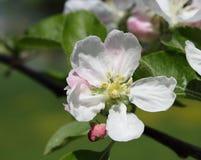 Орнаментальный цветок персика Стоковые Фотографии RF