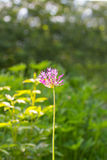 Орнаментальный цветок лука в саде стоковое фото