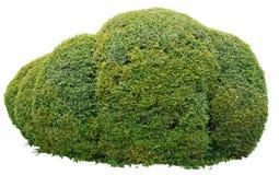 Орнаментальный bush стоковое изображение rf