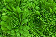 Орнамент цветка на основании зеленого цвета Saxifraga сочного стоковое изображение