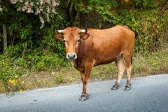 дорога Россия коровы altai Стоковые Фото