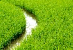 дорожка в ricefield Стоковое фото RF