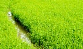 дорожка в ricefield Стоковая Фотография RF