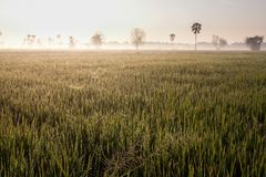 Оросите на поле риса в утре Стоковое Изображение