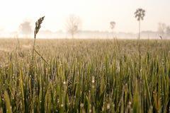 Оросите на поле риса в утре Стоковое Изображение RF