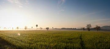 Оросите на поле риса в утре Стоковые Изображения
