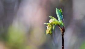 Оросите покрытый водой свежий бутон цветка саженца весны вытекая Стоковые Фотографии RF