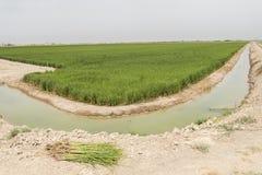 Орошенная плантация риса Стоковые Изображения