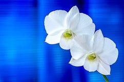 орхидеи белые Стоковые Фотографии RF