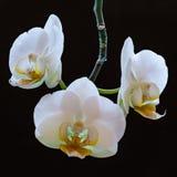 орхидеи белые Стоковое Фото