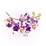 Орхидеи ветви цветут фиолетовый и белый стержень тропического завода фаленопсиса и иллюстрация винтажного вектора бутонов ботанич Стоковая Фотография
