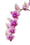 орхидеи ветви Стоковая Фотография RF