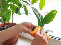 Орхидеи заботы завода Обработка заводов против паразитов Стоковые Фотографии RF