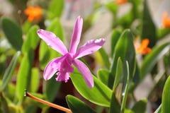 Орхидеи зацветенные весной Стоковые Фото