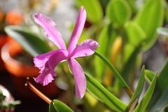 Орхидеи зацветенные весной Стоковые Фотографии RF