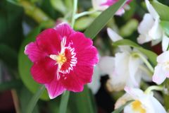 Орхидеи зацветенные весной Стоковые Изображения RF