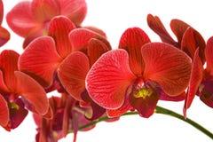 Орхидеи на изолированной предпосылке красивый цветок разветвляет орхидеи Стоковые Изображения RF