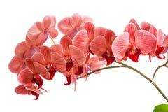 Орхидеи на изолированной предпосылке красивый цветок разветвляет орхидеи Стоковое Изображение